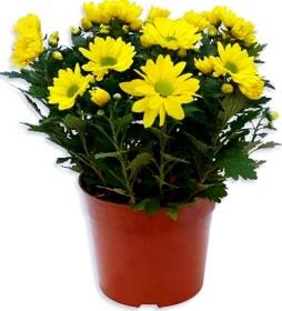 bunga-krisan
