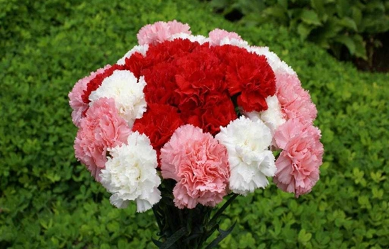 Carnation Flower Screensaver 0.7