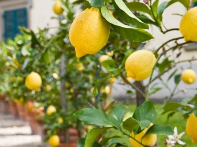 Prospek Budidaya Lemon Dengan Keuntungan Hingga 200 JutaPertahun