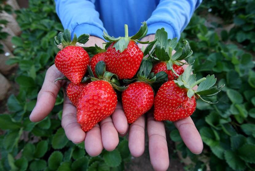 Panen buah strawberry di kawasan Nagreg, Bandung, Jawa Barat
