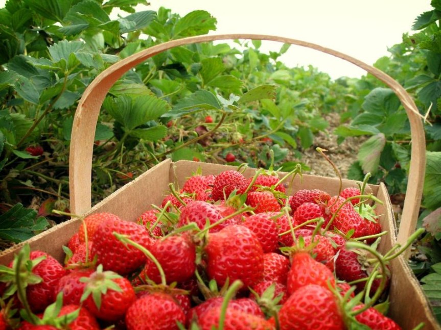 Strowberry! Buah Imut MudahBudidayanya