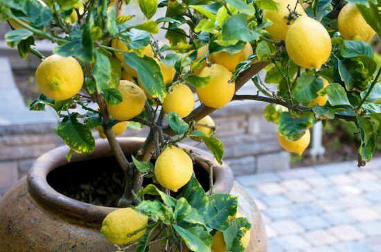 Cara Mudah Menanam Lemon DiRumah!!