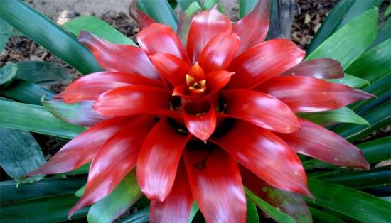 Bunga-Bromelia