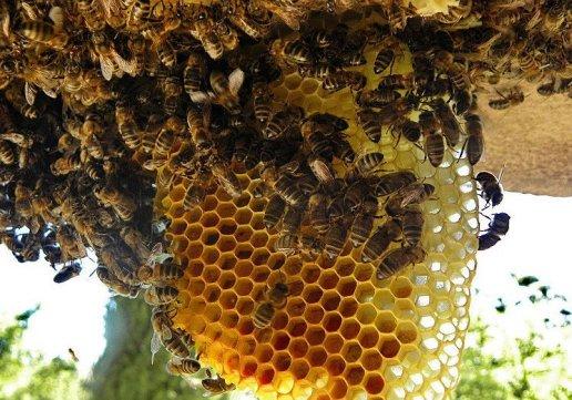 Usaha-Budidaya-Ternak-Lebah-Madu