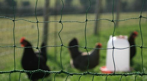 Kandang Ayam Jaring