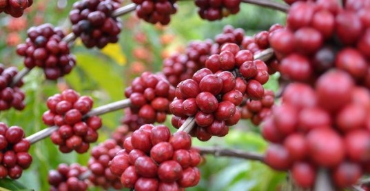 cara-menanam-kopi