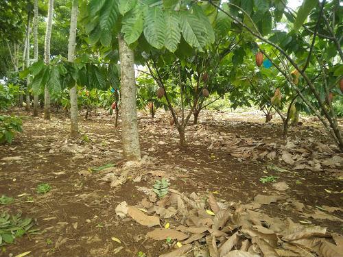 Pohon Pelindung Tanaman Kakao