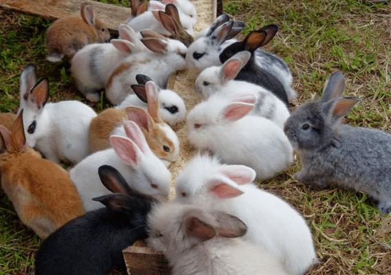 Beternak Kelinci